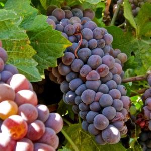 Pinot GRIGIO vino blanco italiano
